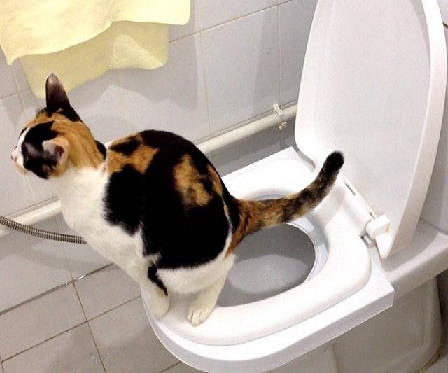 Dạy mèo đi vệ sinh bồn cầu